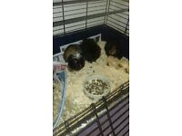 3 male guinea pigs and double story cage