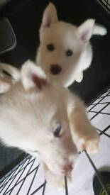 Huskie girl puppies