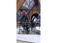 Pair for 20 week old Serama Chickens
