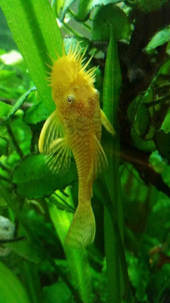 Albino Bristlenose Pleco | Albino Bristlenose Pleco In Liverpool Merseyside Gumtree