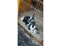 Babby dutch rabbits for sale