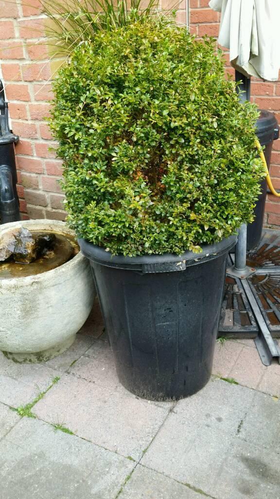 Large healthy Box shrub