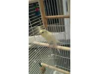 Budgie - Yellow - Male - 10 Months Old - Large Cage