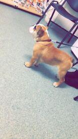 Fun loving british bulldog 3 months old