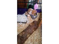 Hamster for sale!!!