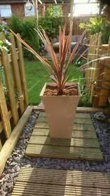 Large cordyline planters