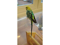 Mega cute rescued budgie (about 5 months)