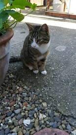 Male tabby cat