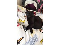 Beautiful 3/4 Siamese kitten