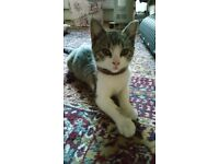 FOUND CAT - tabby & white kitten in Leyton London
