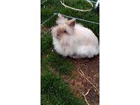 Double mane lionhead doe rabbit