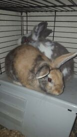 2 male rabbits with set up