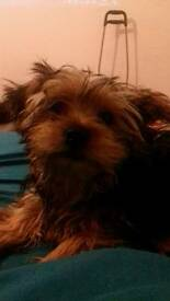 Yorkshire terrier pup **SOLD**