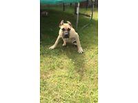 Presa Canario male puppy For sale