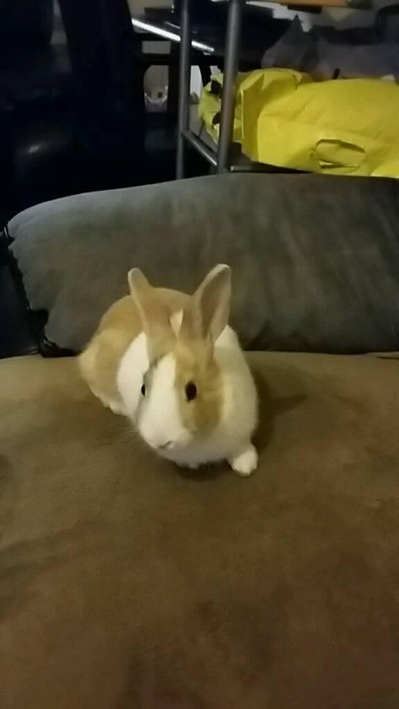 Gorgeous dutchie baby rabbits