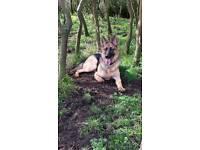 Very large 10 month German Shepherd for sale