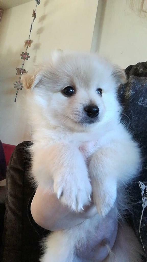 White / cream Pomeranian puppy for sale | in Liverpool ...