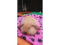 French Lop x Lionhead Baby Rabbits
