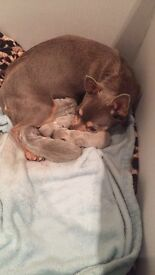 Absolutely stunning litter of blue chihuahua babies