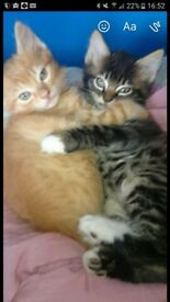 2 lovely ginger kittens for sale
