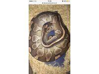 Ball pythons £80