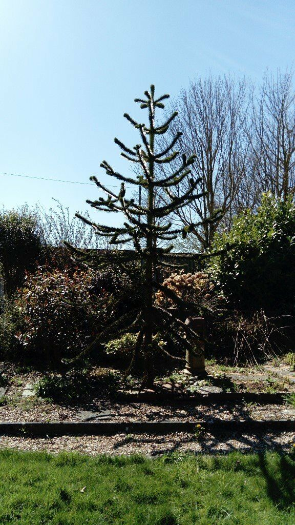 Small mature monkey puzzle tree, established in garden ...
