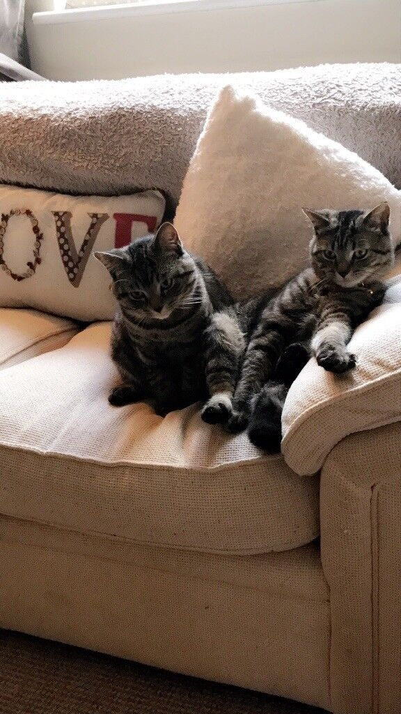 2 Male Cats - exotic shorthair x British blue
