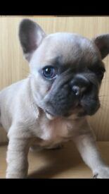 CHAMPION FRENCH BULLDOG PUPPIES VARIETY OF COLOURS AND PRICING - stunning KC REG PUPPIES READY NOW