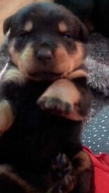 IKC REGISTERED ROTTWEILER PUPS-SHOW QUALITY