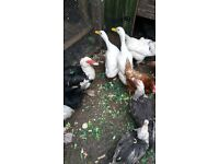 9 muscovy ducks 3 Aylesbury ducks and about 30 chickens