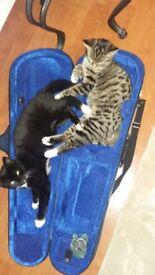 Mixed bengal femele cat