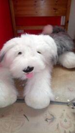 Gorgeous cuddly dulox dog