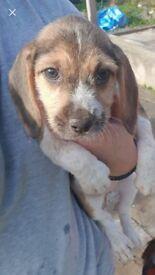 Beagle cross tekel pups merthyr tydfil