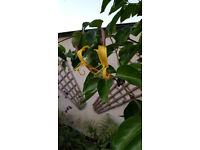 giant burmese honeysuckle lonicera hildebrandiana rare large specimen