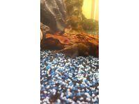 Bristlenose pleco suckerfish
