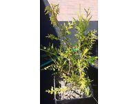leylandii conifer tree - in 10 litre pot - £10 each - from garden near your house - Glasgow