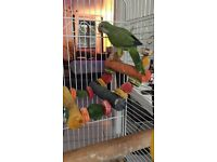 Parakeet young