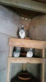 Pakistani pigeons for sale at 25.00 for 2