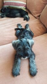 Minature schnauzer puppies