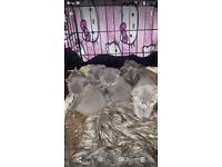 British shorthair grey kittens for sale