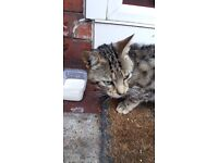 Bengal Cat Needs A Home