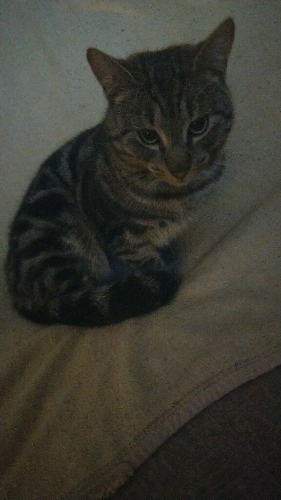 Tabby for sale. Male