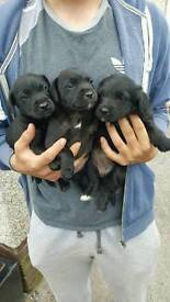 Patter jacks pups for sale 2 boys and 1 girl for sale
