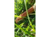 Amelanistic corn snake