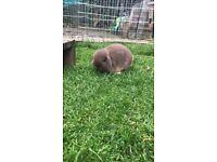 Rabbit- mini lop Chocolate otter