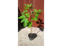 Beautiful Healthy Fig Trees - Home grown
