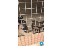 belgian malinois puppys
