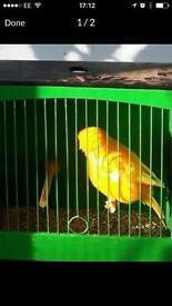 Campion Norwich canaries