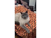 Missing Cat (blue point British shorthair)