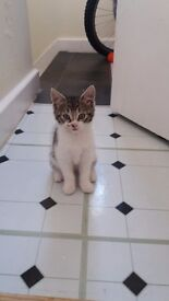 Mixed suamese kittens ready for new homes male/female. Can be seen with both parents
